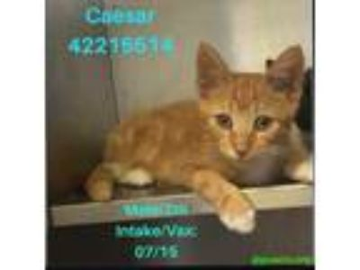 Adopt Caesar a Orange or Red Domestic Shorthair / Domestic Shorthair / Mixed cat