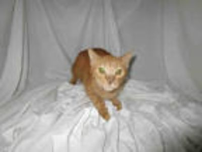 Adopt BEAU a Orange or Red Domestic Shorthair / Mixed (short coat) cat in Winter