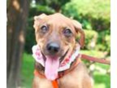 Adopt Rebecca a Tan/Yellow/Fawn - with Black Shepherd (Unknown Type) / Terrier