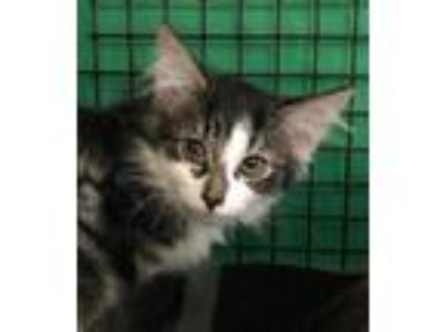 Adopt Aretha a All Black Domestic Longhair / Domestic Shorthair / Mixed cat in