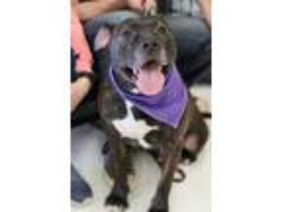 Adopt Cosmo 2012 a Brindle American Pit Bull Terrier / Mixed dog in Warren