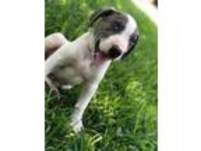Adopt Cruz a White - with Gray or Silver Hound (Unknown Type) / American Pit