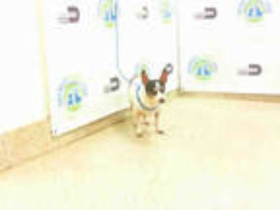 Adopt MESHA a White - with Black Rat Terrier / Mixed dog in Doral, FL (25554073)