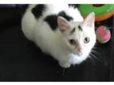 Adopt Stormie a White (Mostly) Domestic Shorthair / Mixed (short coat) cat in