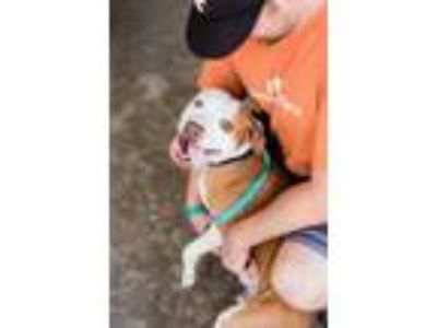 Adopt Dudley a Brown/Chocolate American Pit Bull Terrier / Mixed dog in Fresno