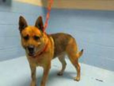 Adopt A496587 a German Shepherd Dog