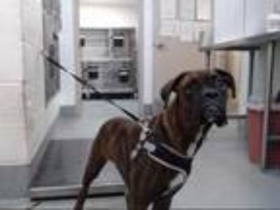 Adopt DUDLEY a Brindle - with White Boxer / Mixed dog in Albuquerque