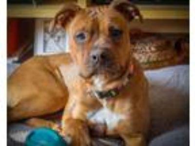 Adopt Lizzie a Boxer, Terrier