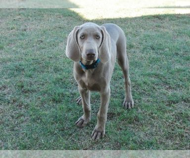 Weimaraner PUPPY FOR SALE ADN-127354 - AKC Weimaraner Puppies