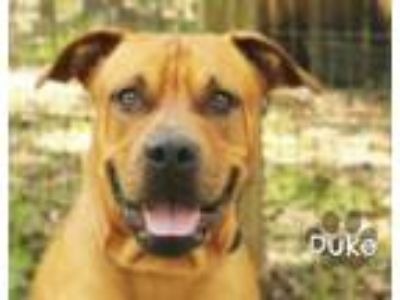 Adopt DUKE a Pit Bull Terrier, Mixed Breed
