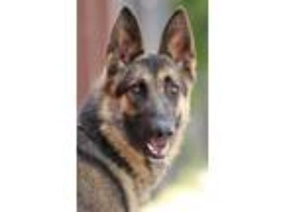 Adopt *Angel von Anzing a German Shepherd Dog