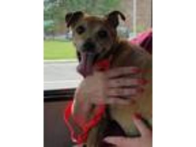 Adopt Honey a Miniature Pinscher, Rat Terrier
