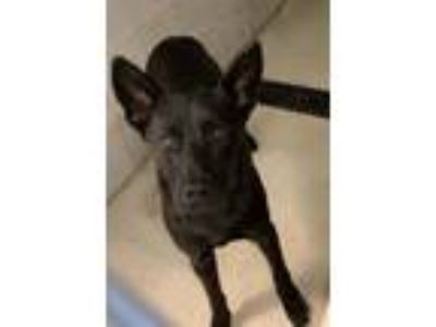 Adopt Rocky a Shepherd (Unknown Type) / Mixed dog in Hartford City