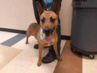 Adopt RIPLEY a Brown/Chocolate Belgian Malinois / Mixed dog in Mesquite