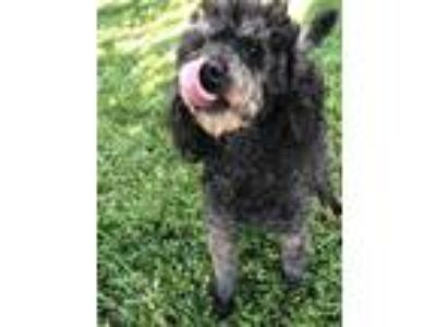 Adopt Shimmer a Black Toy Poodle / Poodle (Miniature) / Mixed dog in Lodi