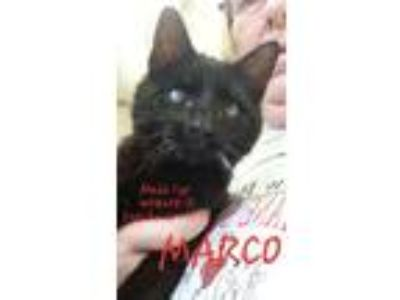 Adopt Marco a Domestic Short Hair