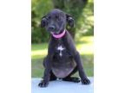 Adopt Dana a Black - with White Miniature Pinscher / Labrador Retriever / Mixed