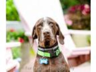 Adopt Jack a German Shorthaired Pointer