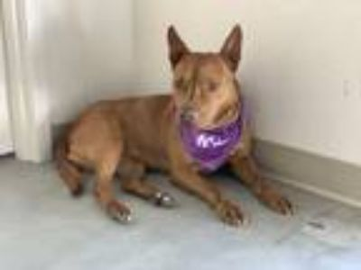 Adopt Kenza a Pit Bull Terrier