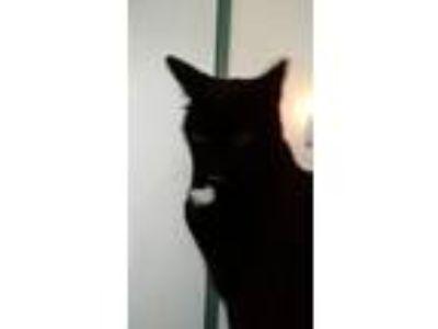 Adopt Warewolf a Black (Mostly) American Shorthair cat in Modesto, CA (25066669)