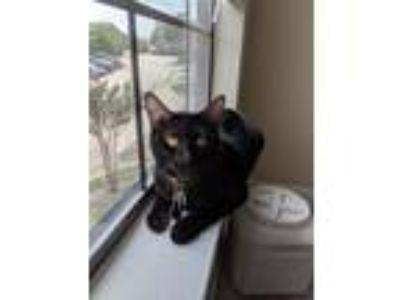 Adopt Ellie a Black (Mostly) Domestic Shorthair cat in Carrollton, TX (25546098)