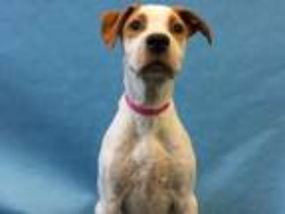 Adopt Bama a White Hound (Unknown Type) / American Pit Bull Terrier / Mixed dog