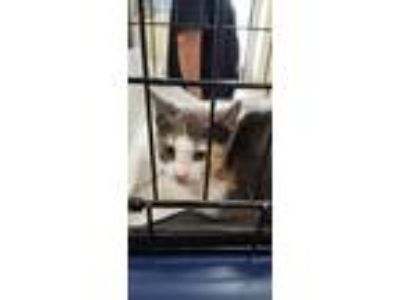 Adopt Java a Gray or Blue Domestic Shorthair / Domestic Shorthair / Mixed cat in