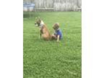 Adopt Poppy a Tan/Yellow/Fawn - with White Basenji / American Pit Bull Terrier