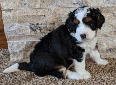 Miniature Bernedoodle-Bernese Mountain Dog Mix PUPPY FOR SALE ADN-82374 - Beautiful MINI BERNADOODLE Puppies