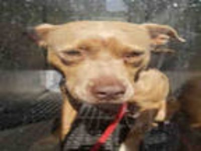 Adopt PHOEBE a Brown/Chocolate American Pit Bull Terrier / Mixed dog in