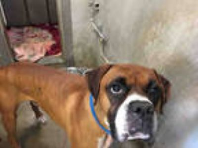 Adopt JAX a Brown/Chocolate Boxer / Mixed dog in Los Angeles, CA (25575481)