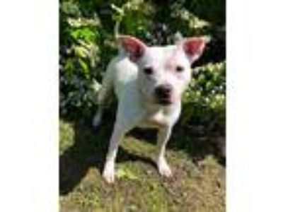 Adopt Nylah a White American Pit Bull Terrier / Mixed dog in Dartmouth