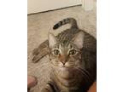 Adopt Kitten a Brown Tabby Domestic Shorthair cat in Wellington, FL (25530847)