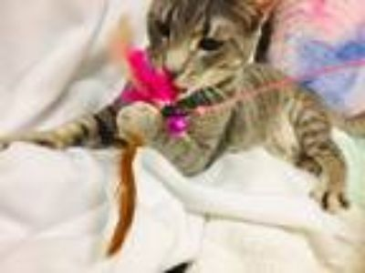 Adopt Caruso a Gray, Blue or Silver Tabby Domestic Shorthair (short coat) cat in