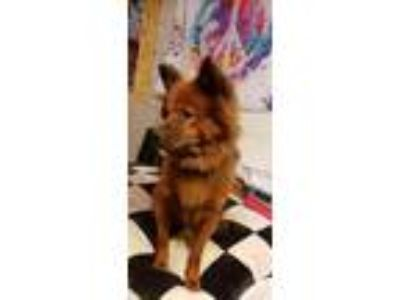 Adopt Coco a Chow Chow