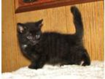 Adopt Calca (baby girl) a All Black Domestic Shorthair / Mixed (short coat) cat