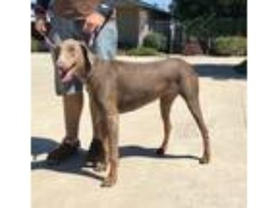 Adopt Arri a Gray/Blue/Silver/Salt & Pepper Doberman Pinscher / Mixed dog in