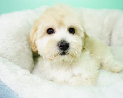 Cockapoo Puppy – Female- Justina ($1,250)