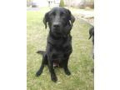 Adopt Brenda a Labrador Retriever, Mixed Breed