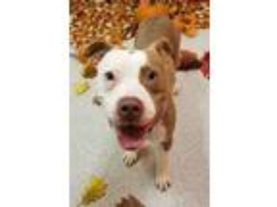 Adopt Lady - Prison DIPP a Tan/Yellow/Fawn American Pit Bull Terrier / Mixed dog