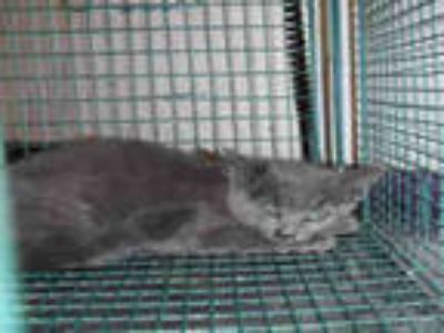 Adopt a Gray or Blue Domestic Shorthair / Mixed (short coat) cat in Long Beach