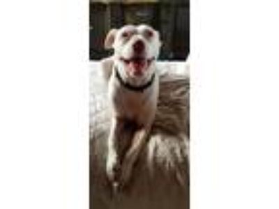 Adopt Brody a White American Pit Bull Terrier / Beagle dog in Apopka