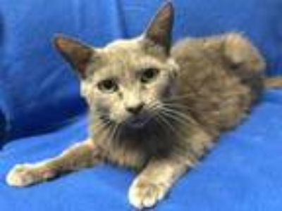 Adopt Steel Rusty a Gray or Blue Domestic Shorthair / Domestic Shorthair / Mixed