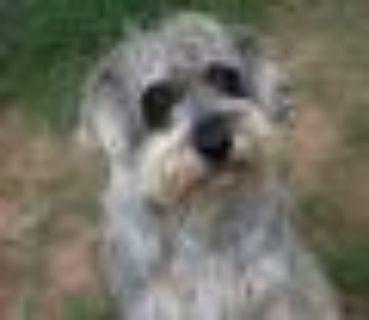Olaf Schnauzer - Terrier Dog