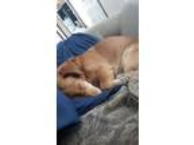 Adopt Copper a Tan/Yellow/Fawn Dachshund / Corgi dog in San Antonio