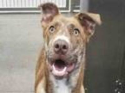Adopt GABBY a Catahoula Leopard Dog, Mixed Breed