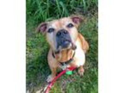 Adopt Layla a Tan/Yellow/Fawn American Pit Bull Terrier / Mixed dog in Waldorf
