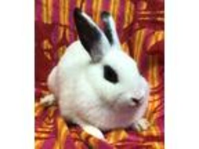Adopt Alice a Bunny Rabbit