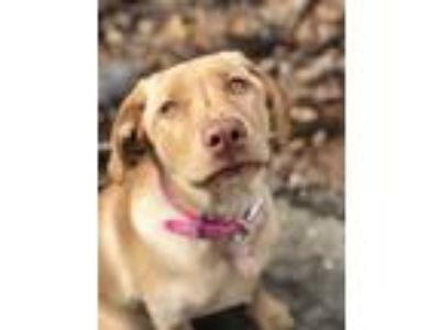 Adopt Sadie a Tan/Yellow/Fawn Labrador Retriever dog in Massapequa