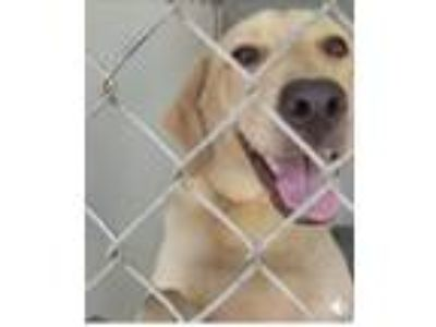 Adopt Bettie a Tan/Yellow/Fawn Labrador Retriever / Mixed dog in Willingboro